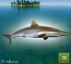Акула шелковистая