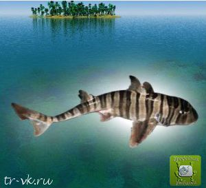 Акула бычья зебровая
