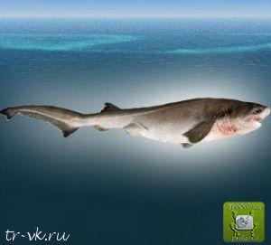 Акула шестижаберная