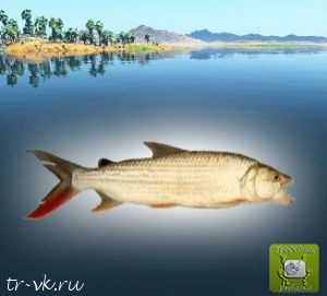 Тигровая рыба бревис