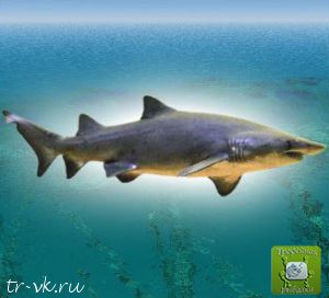Акула песчаная тигровая