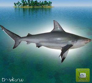 Акула свиноглазая
