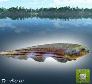 Рыба нож зеленая