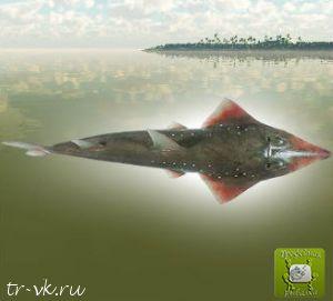Скат акулохвостый