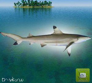 Акула рифовая черноплавниковая