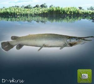 Панцирная саргановая щука аллигатор