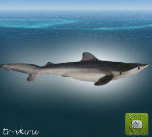 Акула узколобая