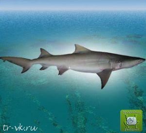 Акула лимонная