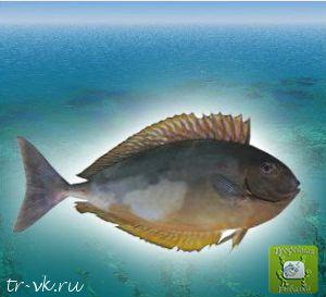 Рыба носорог безрогая