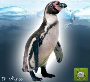 Пингвин Гумбольда