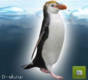 Пингвин Шлегеля