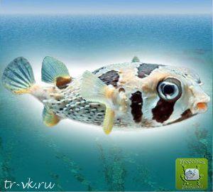 Рыба еж мраморная