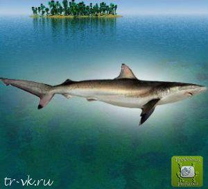Акула серая короткоперая