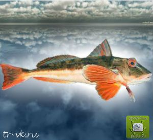 Тригла обыкновенная (морской петух)