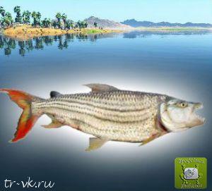 Тигровая рыба витатус
