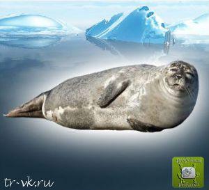 Тюлень Уэдделла