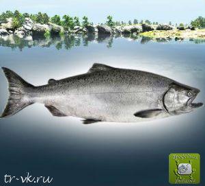 Чавыча (Королевский лосось)