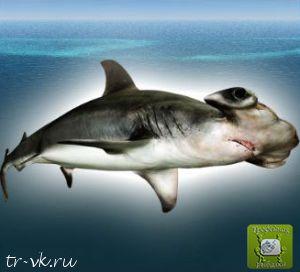 Гигантская акула молот