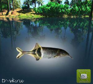 Рыба-слон нильский