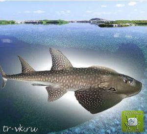 Рыба Рохля