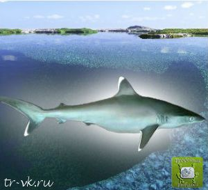 Акула серебристо плавниковая