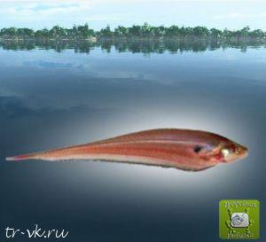 Рыба нож лимбата