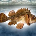 Скорпена, или морской ерш