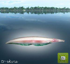 Рыба нож белый