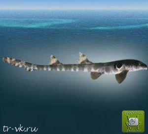 Акула североавстралийская