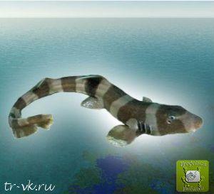 Акула кошачья коричневополосая