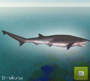 Акула малая черноперая