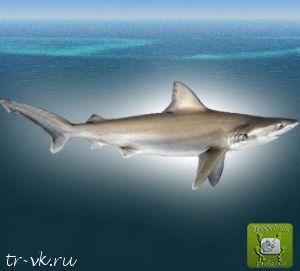 Акула большеносая