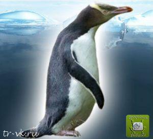 Пингвин великолепный