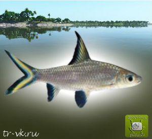 Акулий барбус