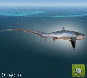 Акула лисья пелагическая