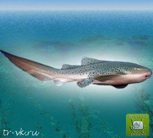 Акула зебра