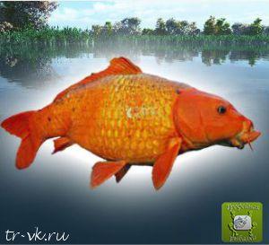 Карп оранжевый