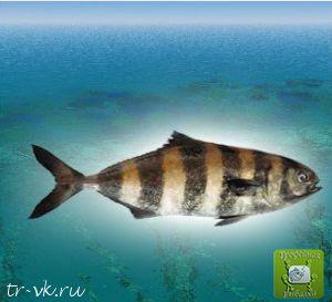 Рыба лоцман