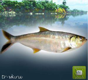 Пелона Амазонская