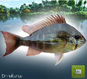 манка для прикорма рыб
