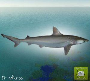 Акула белощекая