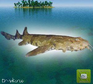 Акула бородатая (Украшенный выбегонт)