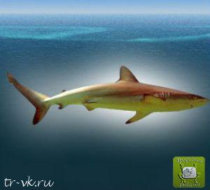 Акула темная
