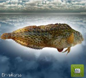 Морская собачка обыкновенная