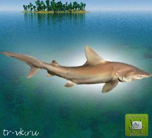 Акула песчаная
