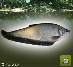 Рыба нож азиатская