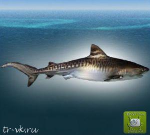 Акула Тигровая