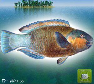 Рыба попугай длинноперая