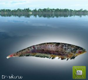 Рыба нож balaenops