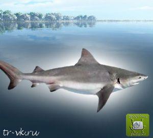 Акула бык